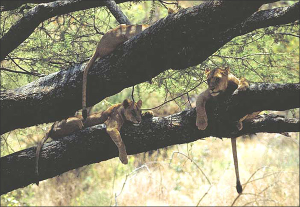 Lake Manyara National Park - tree climbing lions
